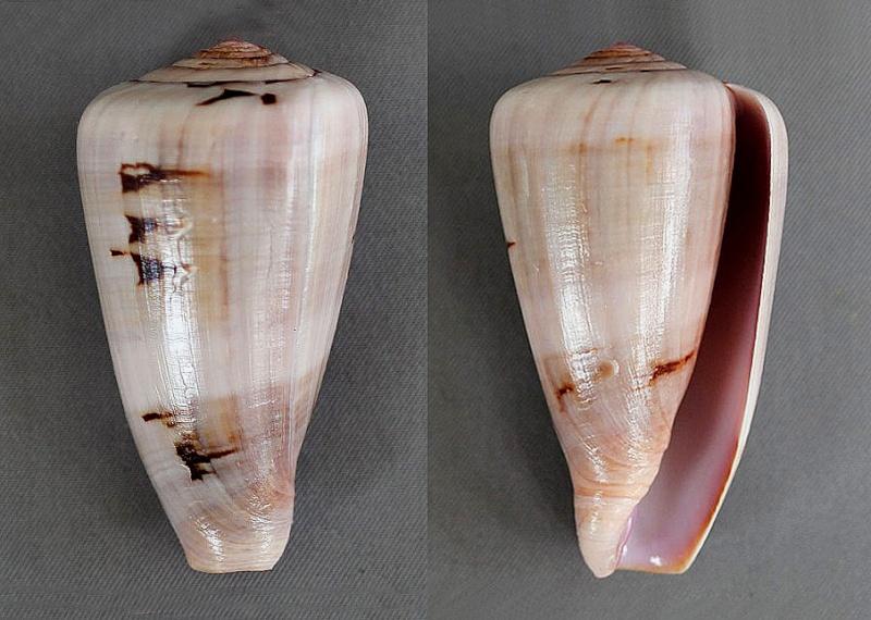 Conus (Darioconus) lohri   Kilburn, 1972 5391-210