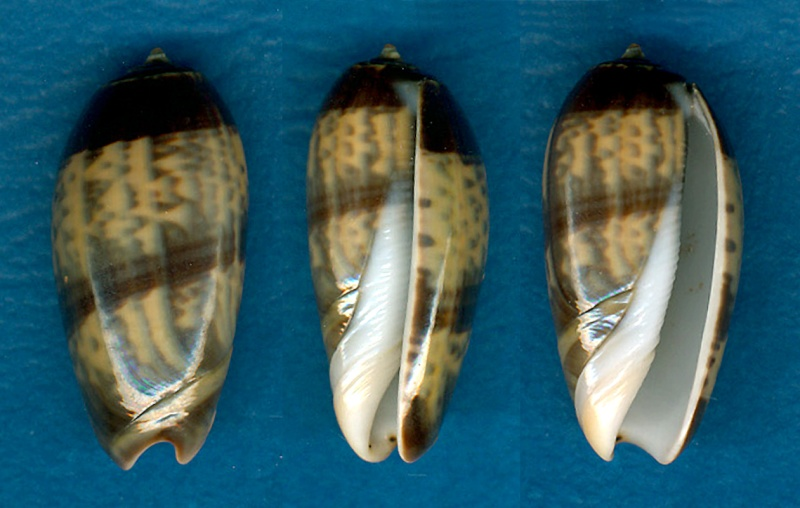 Oliva tigrina (Carmione) - Lamarck, 1811 Aaa_3110