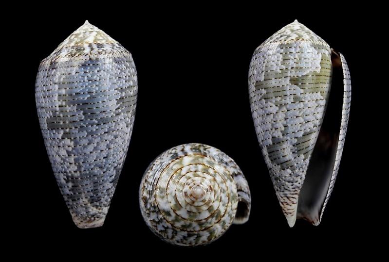 Conus (Pionoconus) barbara  Brazier,1898 Achati10