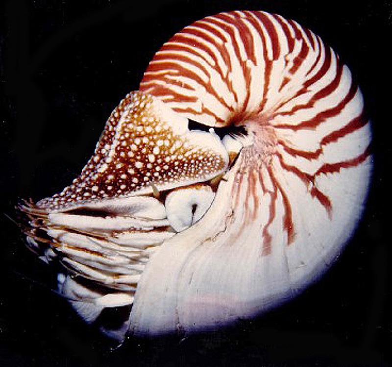 Nautilus belauensis - Saunders, 1981 Ammon410