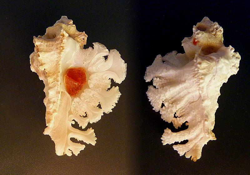 Homalocantha anatomica - (Perry, 1811) Anatom10