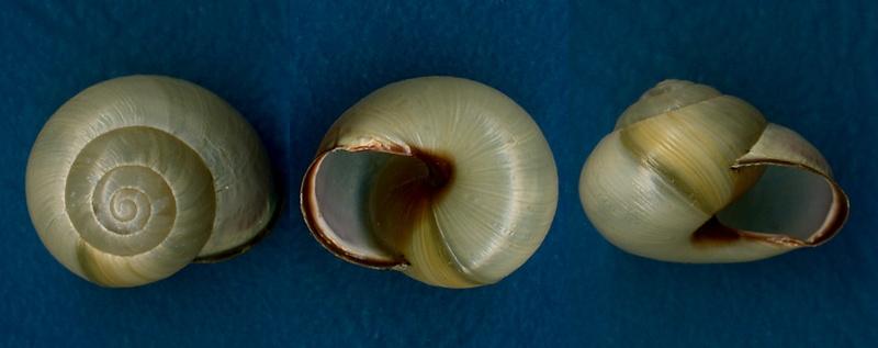 Cepaea hortensis (O.F. Müller, 1774) Cepaea11