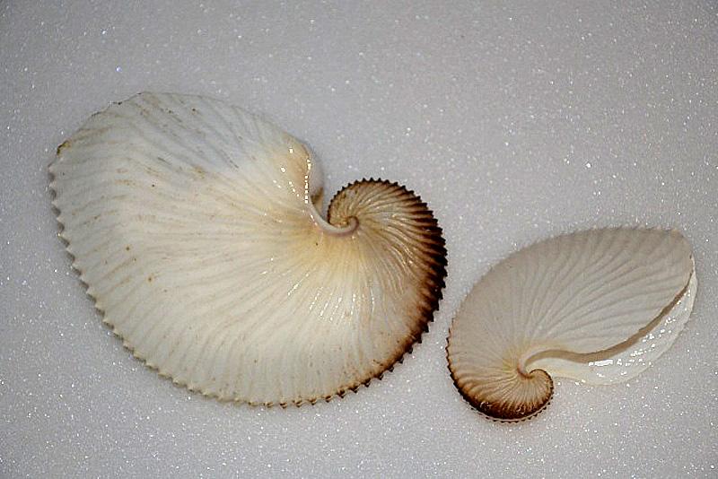 Argonauta argo - Linnaeus, 1758 Dsc_0211