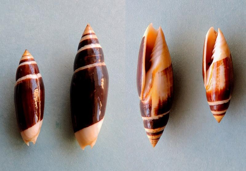 Swainsonia casta - (Gmelin, 1791) Dscn0110