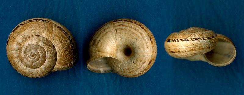 Xerosecta cespitum (Draparnaud, 1801) Hygrom10