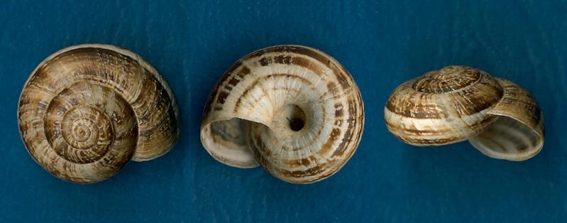 Xerosecta cespitum (Draparnaud, 1801) Hygrom11