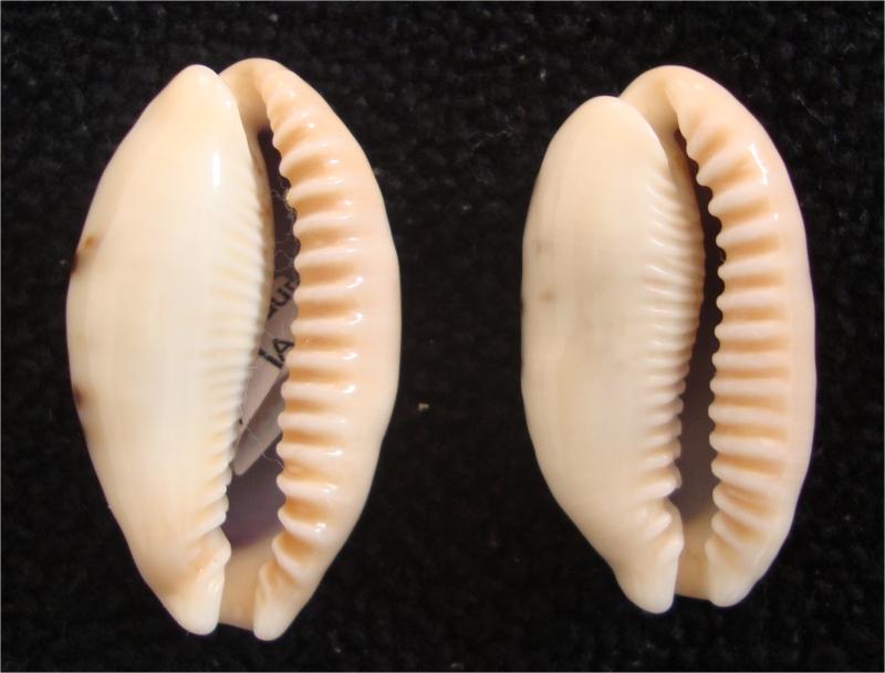 Révision 2013 des porcelaines des Seychelles Image110