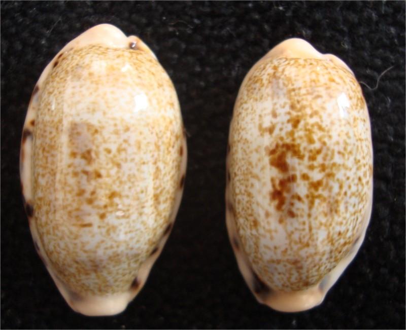 Révision 2013 des porcelaines des Seychelles Image210