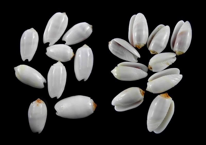 Galeola carneola f. violacea (Prior, 1975) voir Galeola carneola (Gmelin, 1791) Image_10