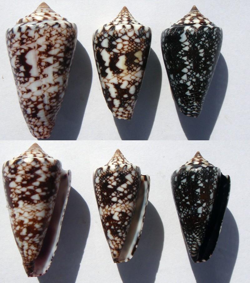 Conus (Leptoconus) locumtenens - Blumenbach, 1791 Locumt10