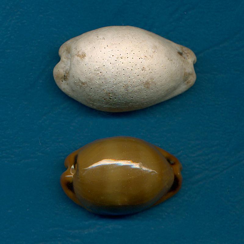 Cypraeidae - † Cypraea - de Fuerteventura (Iles Canaries) Lurida10