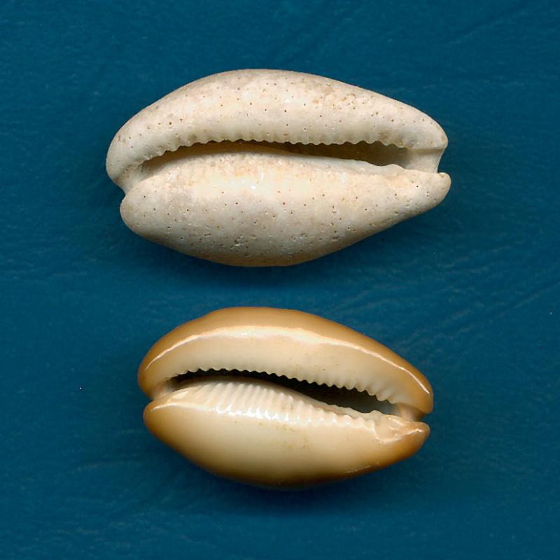 Cypraeidae - † Cypraea - de Fuerteventura (Iles Canaries) Lurida11