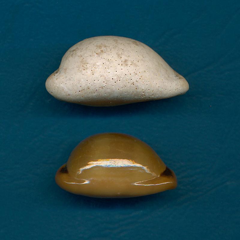 Cypraeidae - † Cypraea - de Fuerteventura (Iles Canaries) Lurida12
