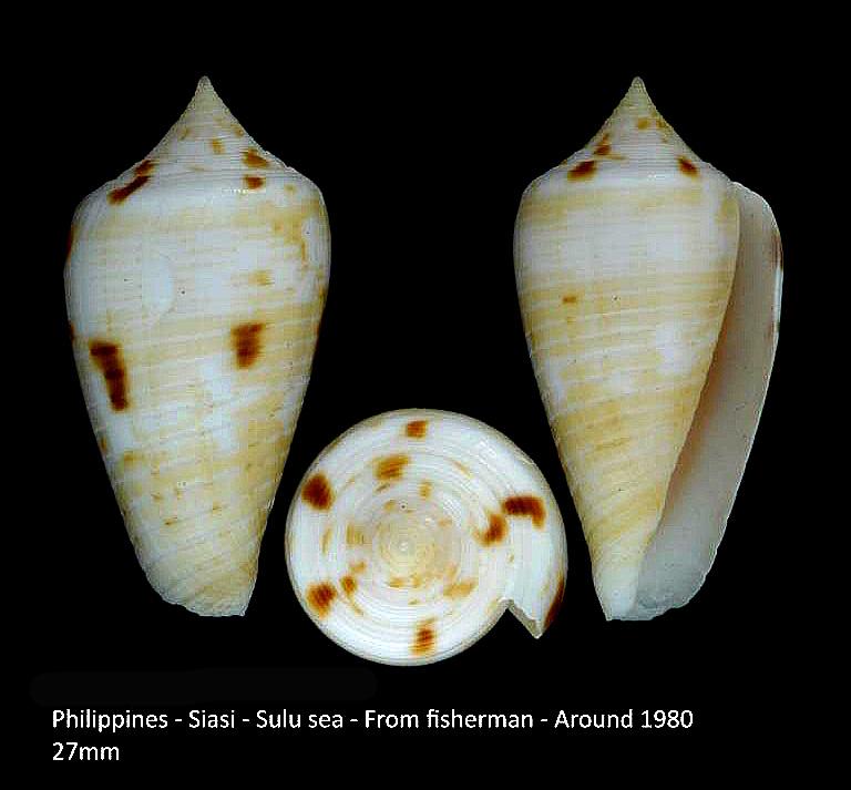 Conus (Phasmoconus) zandbergeni   Filmer & Moolenbeek, 2010 M2_t1a10