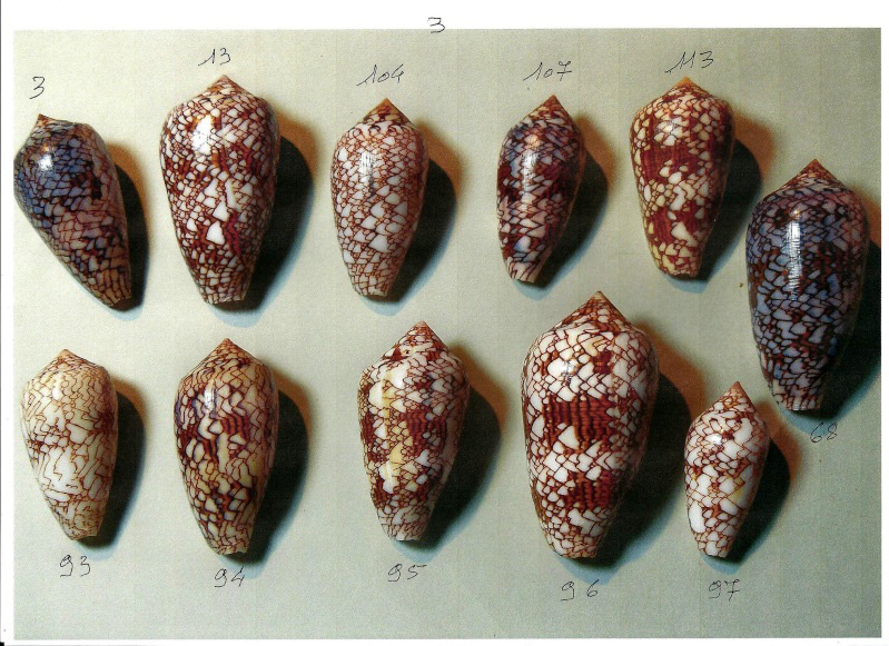 conus  de provenance  Madagascar = differentes formes de textiles Na3_0010
