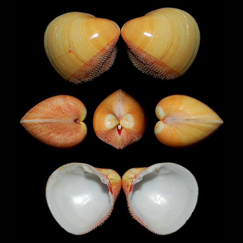 Nemocardium bechei - (Reeve, 1847)  Nemoca10