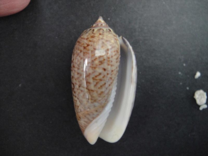 Americoliva violacea (Marrat, 1867) Oliva_18