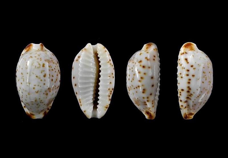 Bistolida owenii owenii - (J.E. Gray in G. B. Sowerby I, 1832) Owenii10