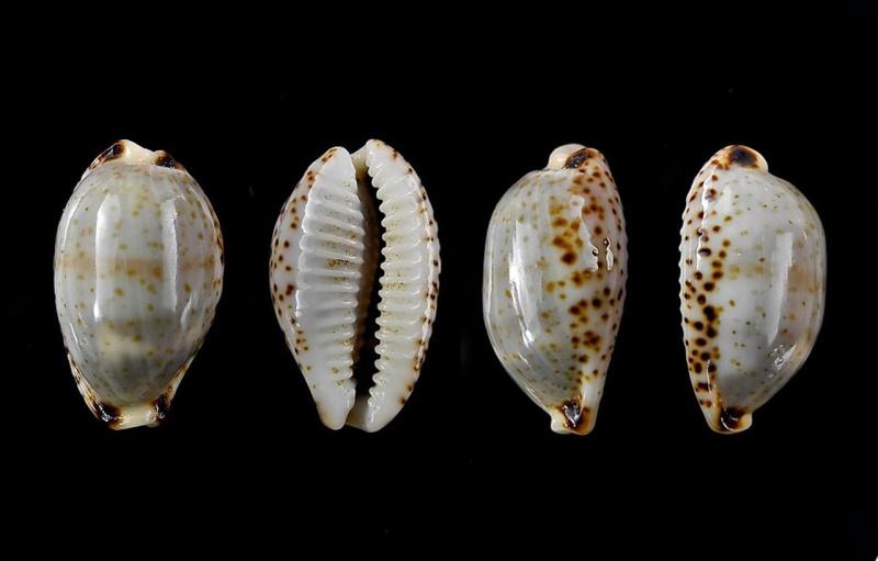 Bistolida owenii owenii - (J.E. Gray in G. B. Sowerby I, 1832) Owenii11