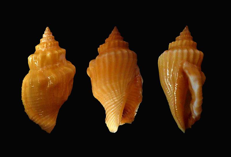 Canarium erythrinum - (Dillwyn, 1817) P1120010