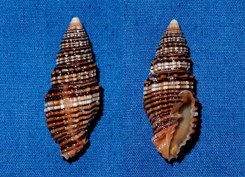 Vexillum crocatum f. concinna - (Reeve, 1844) P2066612