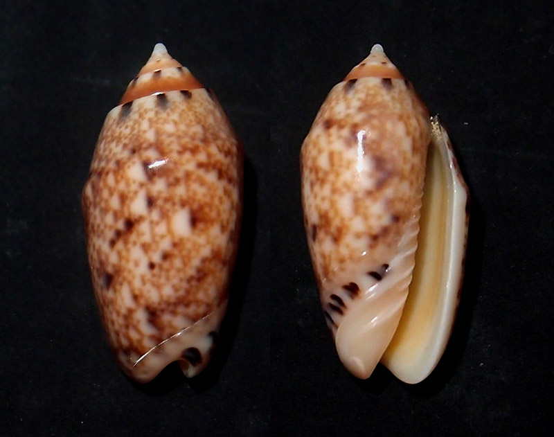 Annulatoliva annulata mantichora (Duclos, 1840) voir Annulatoliva mantichora (Duclos, 1840) Pa135510