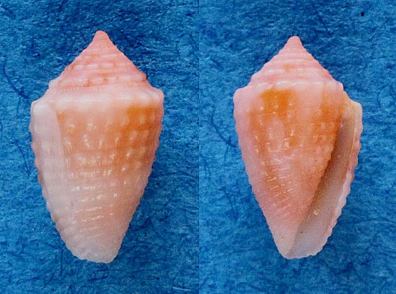 Conasprella (Ximeniconus) vanhyningi (Rehder, 1944) Panora11