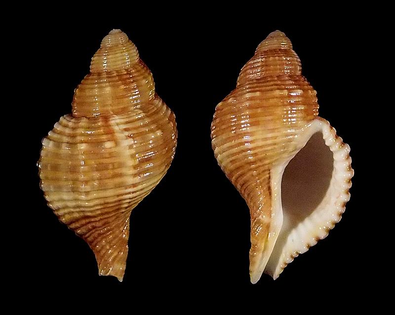 Cymatiidae Linatella caudata - (Gmelin, 1791) Pc016010