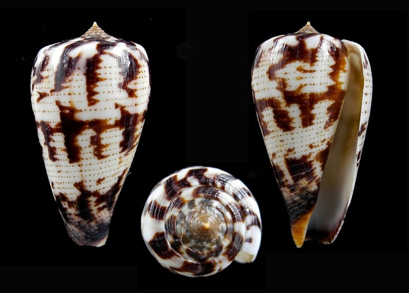 Conus (Phasmoconus) pica   Adams & Reeve, 1848 - Page 2 Pica_410