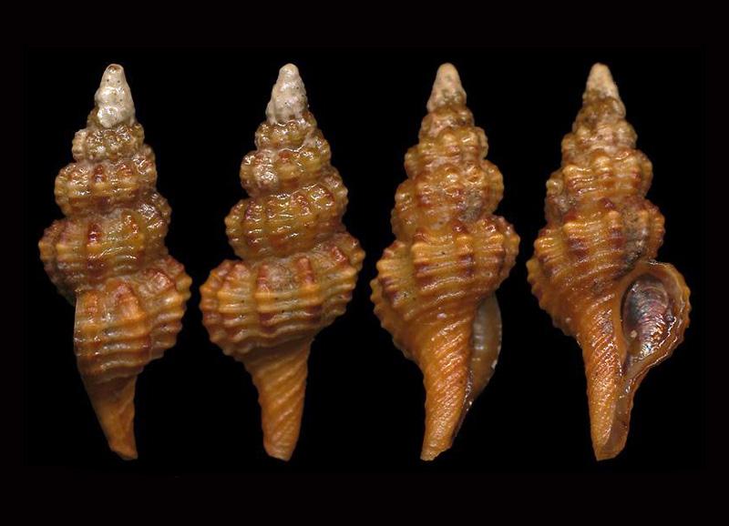 Fusinus cretellai - Buzzuro & Russo, 2008 Pulche10