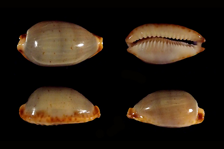 Bistolida stolida clavicola - Lorenz, 1998 Stolid11