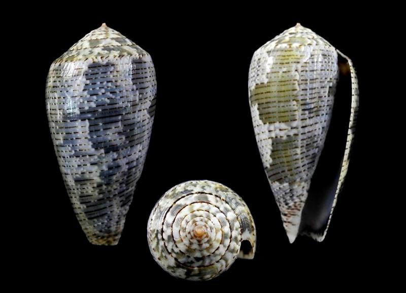Conus (Pionoconus) barbara  Brazier,1898 Thumbn10