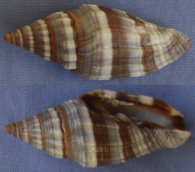 Vexillum intermedium - (Kiener, 1838) Vexill10