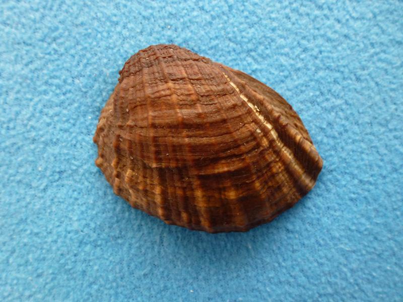 Concholepas concholepas - (Bruguière, 1789) Z1_110