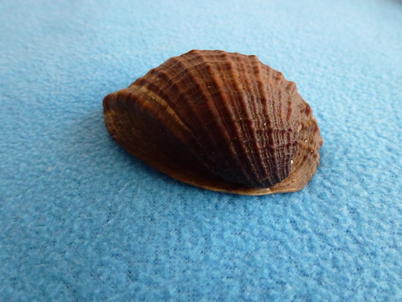 Concholepas concholepas - (Bruguière, 1789) Z1_210