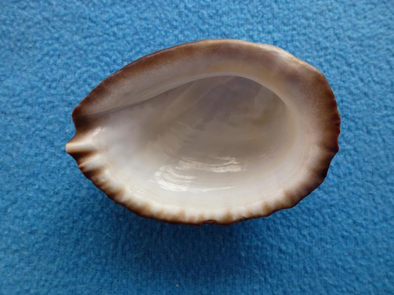 Concholepas concholepas - (Bruguière, 1789) Z1_310