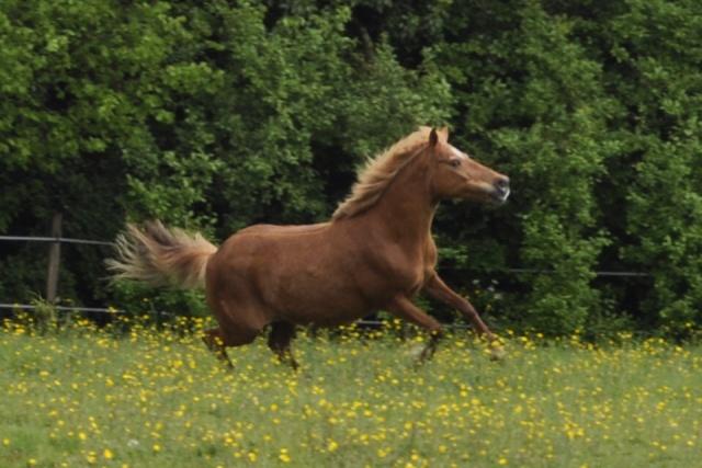 PRALINE - poney typée PFS née en 2001 - gardée par sa propriétaire _csc0210