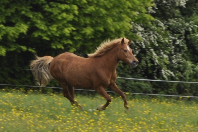 PRALINE - poney typée PFS née en 2001 - gardée par sa propriétaire _csc0211