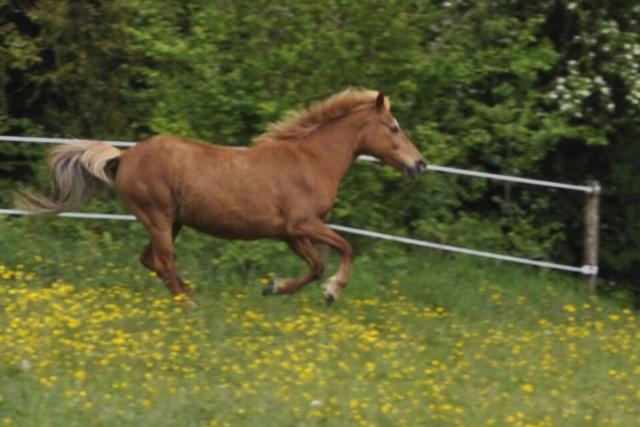 PRALINE - poney typée PFS née en 2001 - gardée par sa propriétaire _csc0212