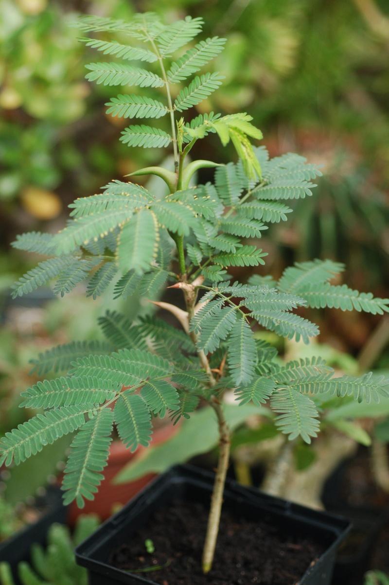Acacia sp myrmécophile Dsc_1710