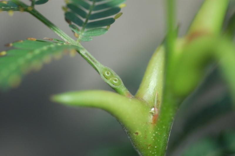 Acacia sp myrmécophile Dsc_1711