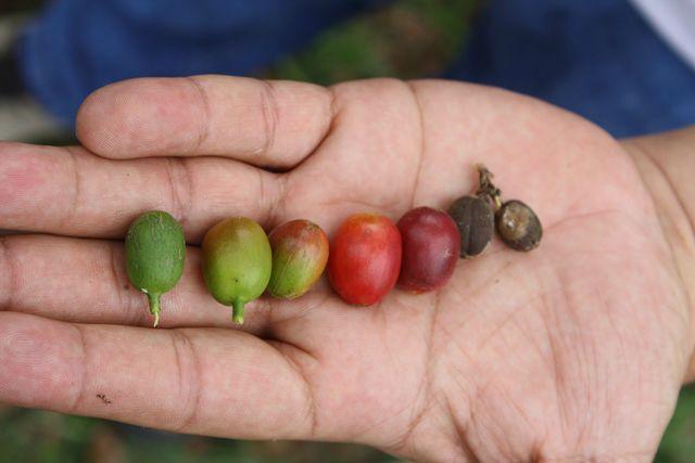Green Coffee Beans Coffee10
