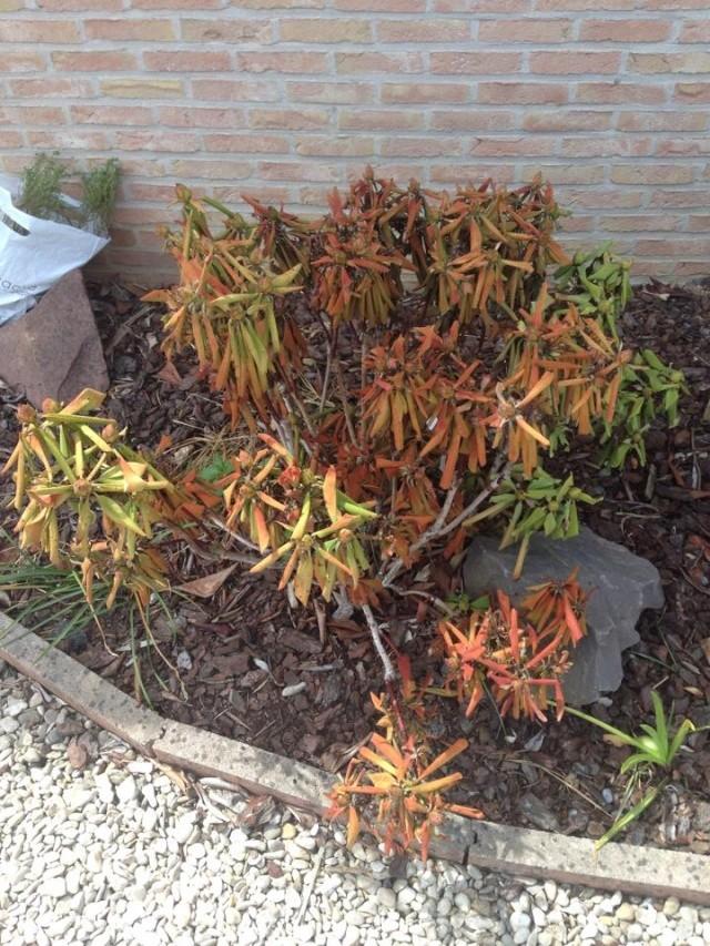 Magnolia et Rhodo malades 10353010