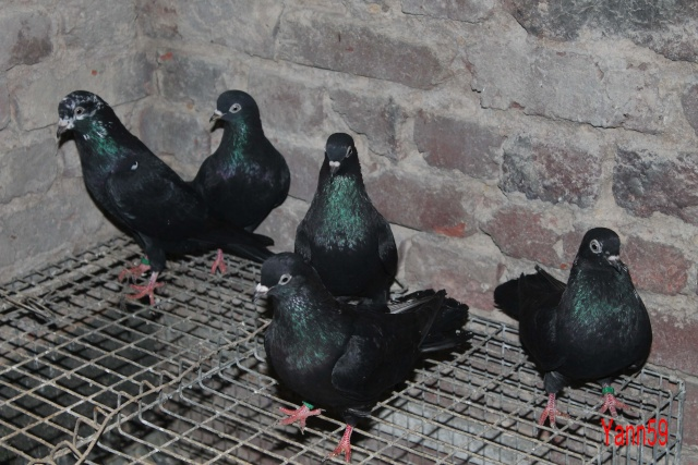 Mes pigeons - Page 2 10_11_23