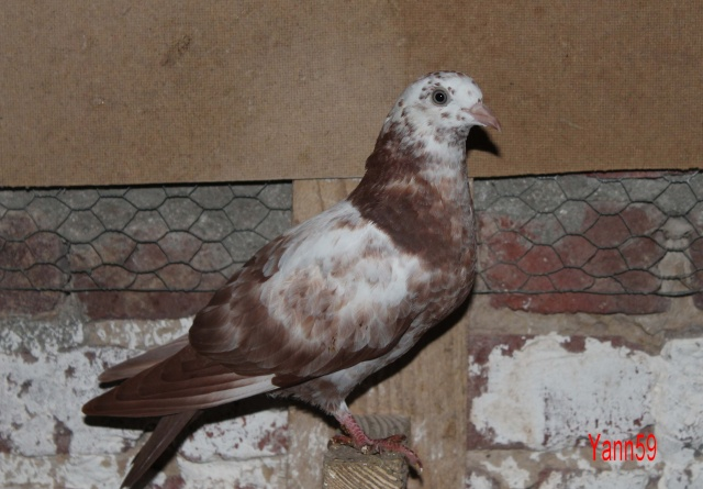 Mes pigeons - Page 2 10_11_27