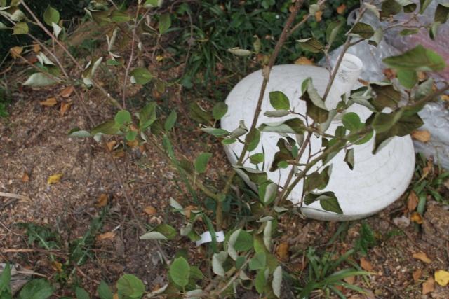 Magnolia et Rhodo malades 20_05_12