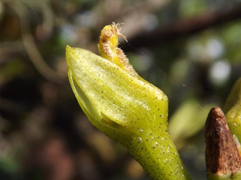 Bulbophyllum cylindrocarpum Dscf0016