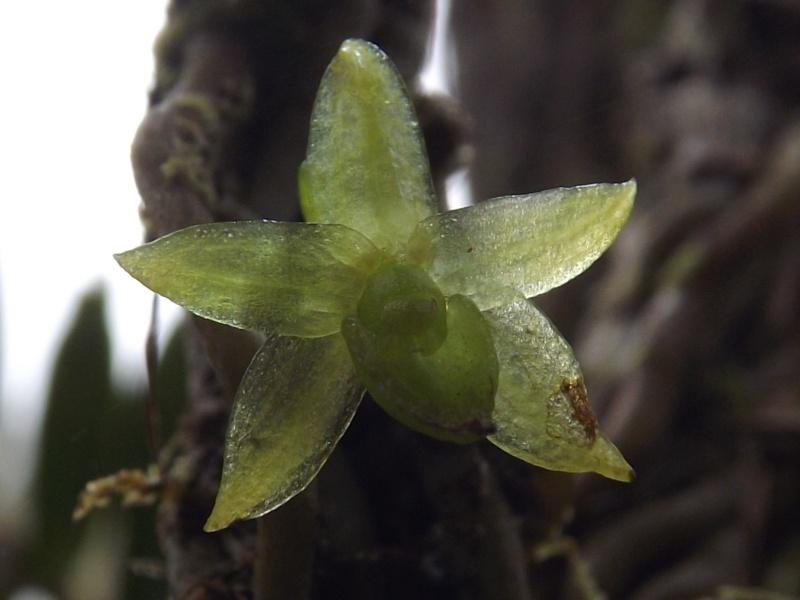 Angraecum costatum Dscf9619