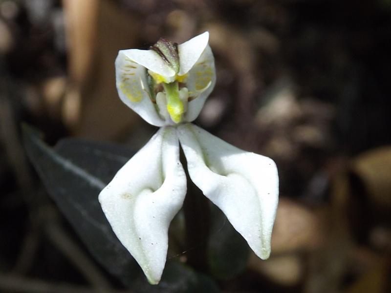 Disperis, eulophia et cynorkis coccineloides Dscf9914