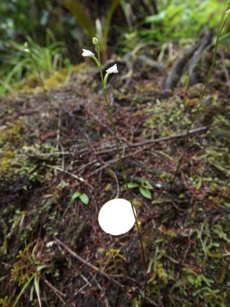 Disperis, eulophia et cynorkis coccineloides Dscf9916